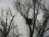 Гнездо третьей пары орлана-белохвоста