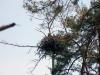 У этой пары орланов также три птенца, 2012 (М. Гаврилюк)