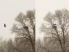 На наших глазах взрослый орлан прилетает в гнездо с рыбой, 23.11.2013 (Н. Борисенко)