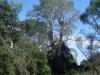 Старое гнездо орлана на основе на огромном тополе, 2012 (М. Гаврилюк)