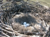 Кладка орлана-белохвоста. Фото Д. Радькова.