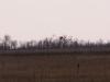 Лесопосадка с гнездом орлана (самка насиживает, самец сидит на соседнем дереве). 6.04.2012 г. Фото К. Рединова
