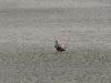 Взрослый орлан. Фото М. Гаврилюк