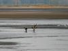 За пойманную рыбу между орланами нередки конфликты. Фото А. Арапов