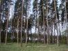 Гнездо той же пары в полосе леса среди вырубок (май 2011 г.)