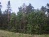 То же гнездо после проведенной рядом вырубки (июнь 2009 г.)