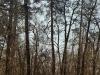 Гнездо в Михайловском лесу (Черкасская обл.) – в этих местах гнездование орланов известно с 1930-х гг. (апрель 2003 г.)