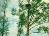 Гнездо на ольхе среди болота (окр. с. Сухолучье Киевской обл., май 1998 г.)
