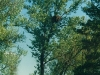 Гнездо на тополе (Каневский заповедник, май 2002 г.)