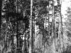 Старое гнездо на сосне (Жукинское лесн-во, Киевская обл., май 1997 г.)