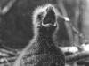 Птенец во втором пуховом наряде (окр. с. Трахтемиров Черкасской обл., апрель 1994 г.)