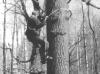 Восхождение на дерево (М. Гаврилюк, Киевская обл., апрель 1995 г.)