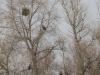 Орланы на дереве