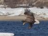 Взрослый орлан