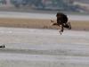 Молодой орлан ищет место для посадки (Р. Ватрасевич)
