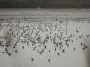 Тысячные скопления чаек на прудах (Н. Борисенко)