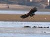 Молодой орлан высматривает добычу на мелководье (Р. Ватрасевич)