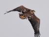 Молодий орлан-білохвіст