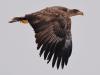 Молодий орлан