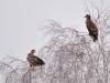 Орлани зібрались біля останків кабана, вбитого вовками
