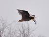 Дорослий орлан-білохвіст