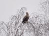 Дорослий орлан