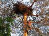 Високий зріст Саши невелюється розмірами гнізда орлана