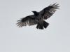 Ворона пикирует на сидящего сапсана