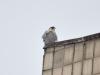 Ветер взъерошивает перья сидящего на крыше сокола