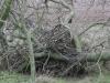 Гнездо орлана на спиленном дереве. Фото З. Петровича