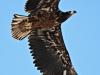 Молодой орлан-белохвост с металлическим кольцом на правой лапе