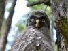 Мічене пташеня сови бородатої