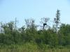 Вигляд гнізда орлана з болота