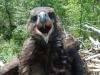 Пташеня орлана-білохвоста при зустрічі з людиною