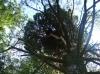Гнездо гибридной пары на высоте 19 м, расположенное в ''ведьминой метле''
