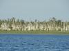 Из-за подъема воды березы на болоте усыхают
