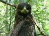 Окольцованный гибридный птенец
