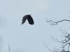 Самка большого подорлика, гнездящаяся в южной части Ольманских болот