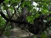 Гнездо большого подорлика на Ольманских болотах, территория Украины