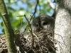 Бородатая неясыть в гнезде на Ольманских болотах (окр. с. Переброды)