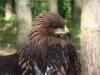 Гибридный птенец, голова и затылок светло-бурые