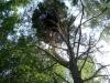 Гнездо гибридной пары подорликов