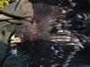 Большой подорлик – вид со спины