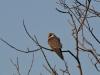 Кобчик (молодая птица) - в Ровенском Полесье редкий гость