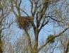 Гнездо курганника на вербе