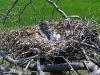 Гнездо курганника с кладкой