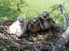 Гнездо курганника с птенцами