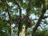 Гніздо балабана