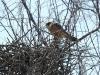 Самка кібчика біля гнізда
