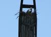 Нетипичное гнездо балобана на вершине бетонной опоры ЛЭП